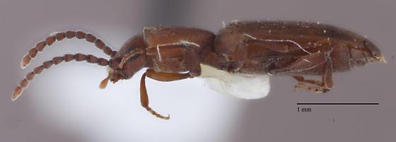 Coleoptera 15 - Cononotus bryanti
