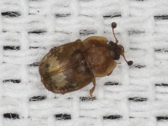 Unidentified Beetle  - Omosita nearctica