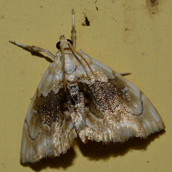 White moth with gold decorations - Lipocosma sicalis