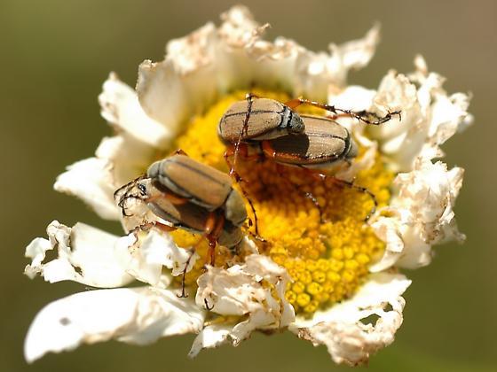 Rose Chafer Macrodactylus subspinosus - Macrodactylus subspinosus