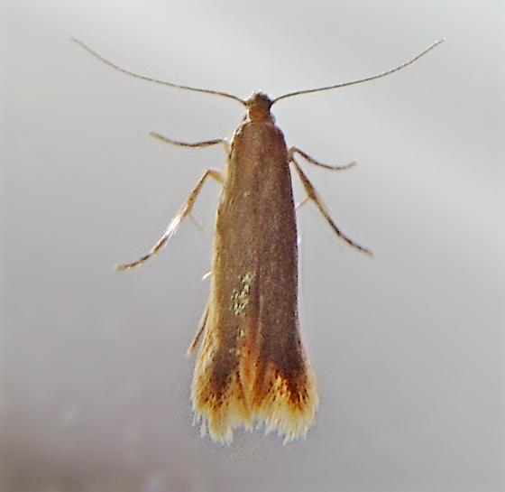 Oak Blotch Miner Moth - Tischeria quercitella