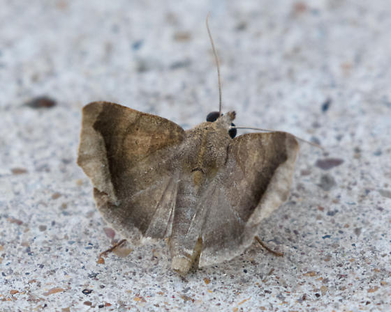 Moth - was acting odd - Bendisodes aeolia