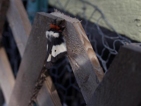 Freshly emerged buckmoths - Hemileuca maia - male