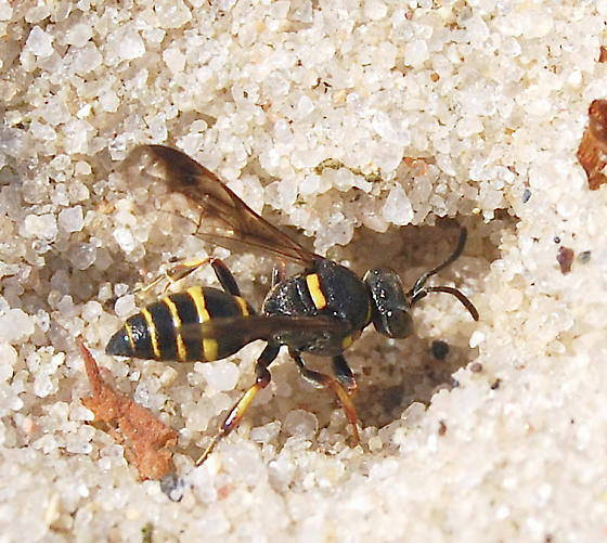 digger wasp  - Hoplisoides - female