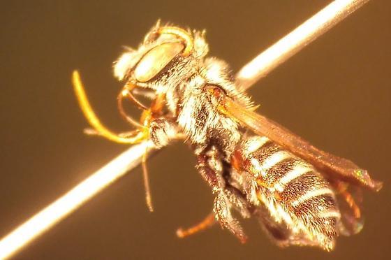 unknown bee - Hoplitis - male