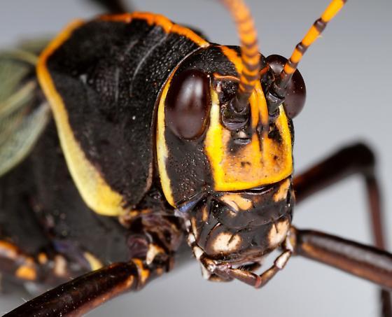 Male, horse lubber grasshopper? - Taeniopoda eques - male