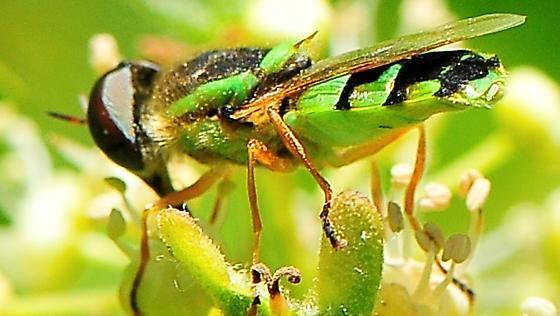 Stratiomyidae - Soldier flies - Odontomyia cincta