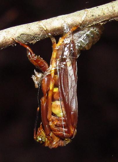 Wasp mantisfly - Climaciella brunnea