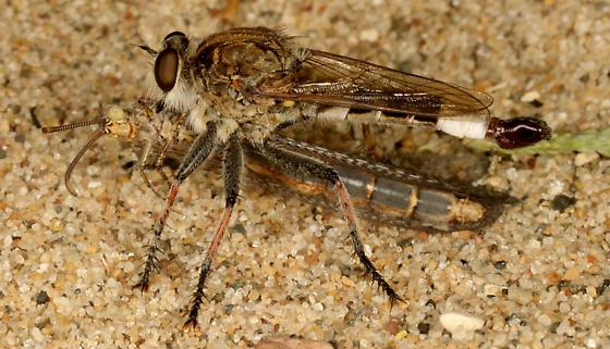 Robber fly -  Efferia albibarbis ? - Efferia albibarbis - male