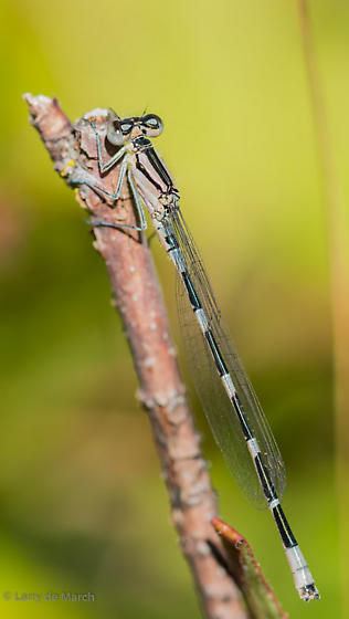 Tule bluet - Enallagma carunculatum - male