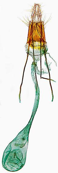 genitalia - Aphomia sociella - female
