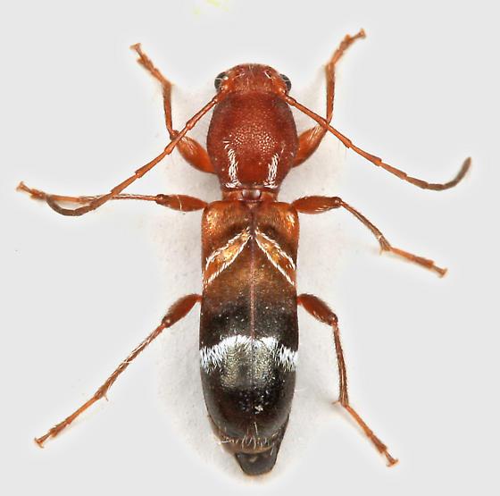 BG2892 E7580 - Tilloclytus geminatus