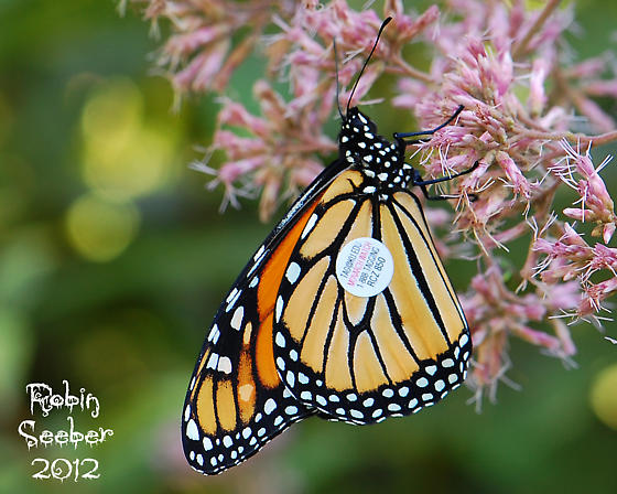 my tagged monarch - Danaus plexippus