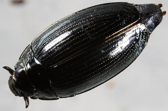 Whiligig beetle of some sort. - Gyrinus