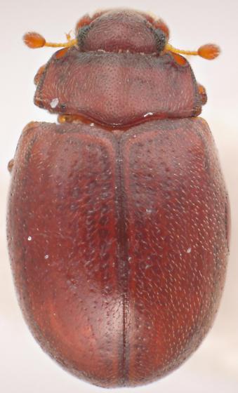 Murmidius ovalis