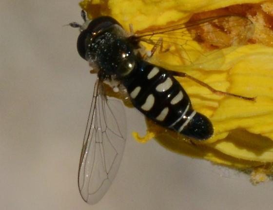 Hover Fly - Eupeodes volucris