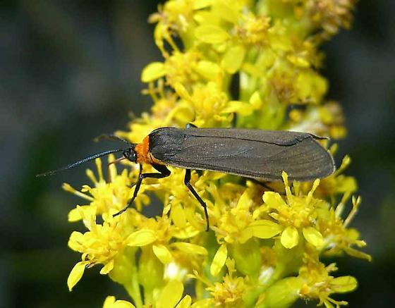 day-flying moth - Cisseps fulvicollis