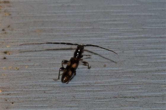 Four-spotted Hickory Borer Heterachthes quadrimaculatus? - Heterachthes quadrimaculatus