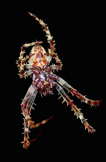 Everglades Spider - Eriophora ravilla
