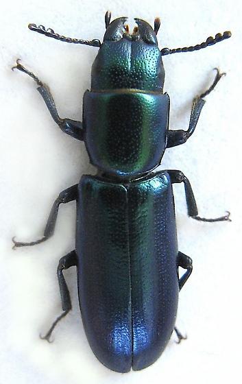 Bark-gnawing Beetle - Temnoscheila chlorodia