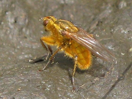 Yellow Dung Fly – Scathophaga stercoraria - Scathophaga