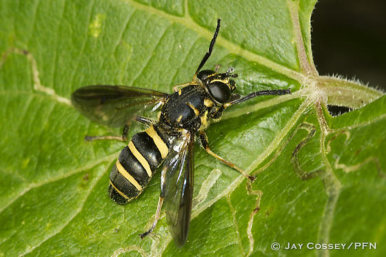 Unknown Syrphid Fly - Temnostoma - female