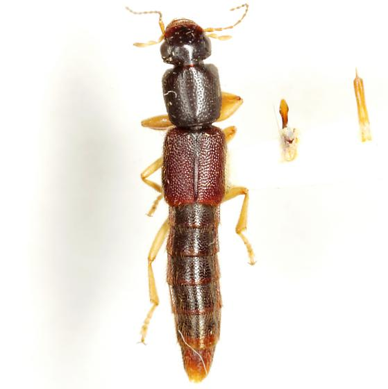 Pinophilus parcus LeConte - Pinophilus parcus