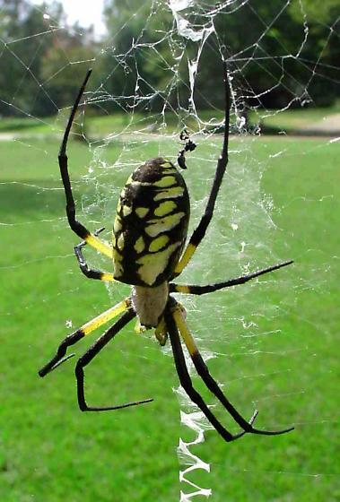 large garden spider argiope aurantia - Garden Spider