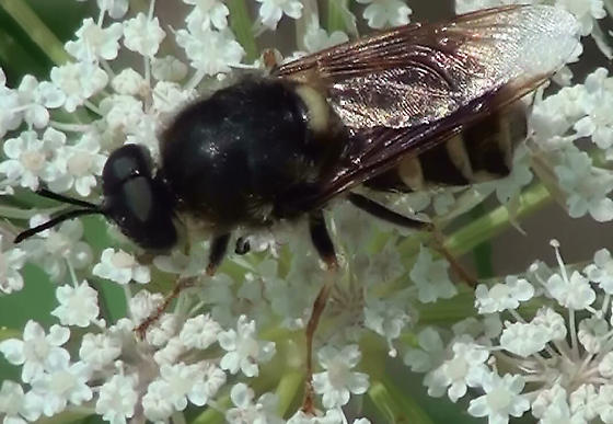 Syrphid Fly? - Stratiomys badia - male