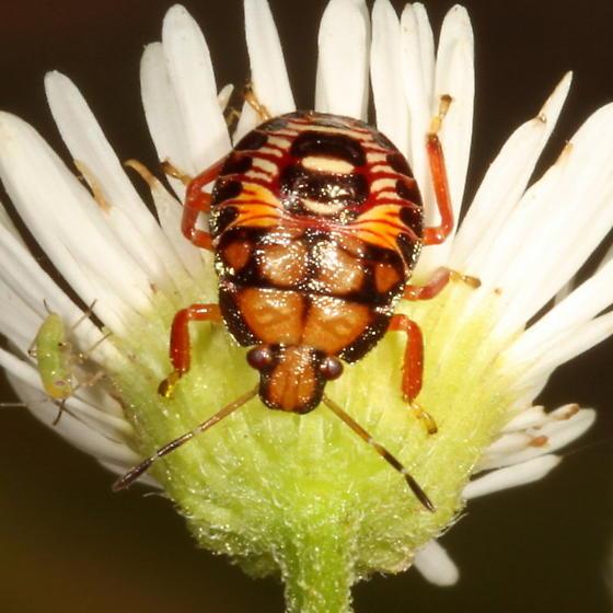 Stink Bug nymph - Podisus
