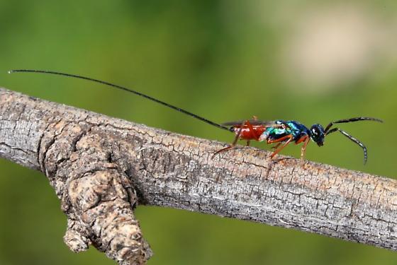 wasp - Phlebopenes - female