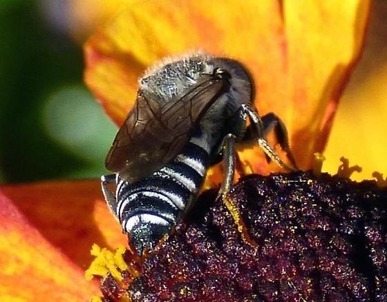 Cuckoo Leaf Cutter Bee?  - Coelioxys