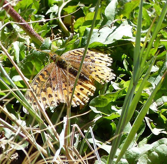 Butterfly #1 - Speyeria