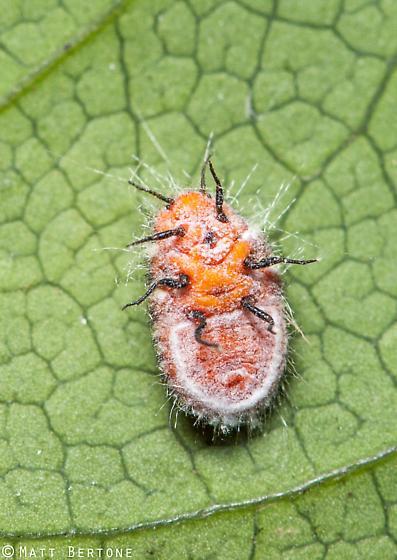 cottony cushion scale (Icerya purchasi) - Icerya purchasi