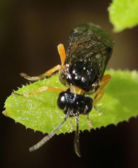 Symphyta? - Halidamia affinis