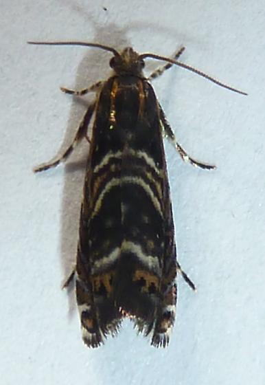 unknown micromoth - Thaumatographa youngiella