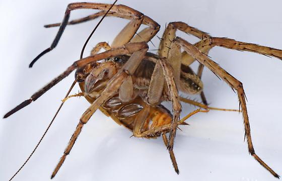Wolf Spider - Tigrosa - male