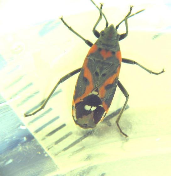 two-white-wing-dots bug - Lygaeus kalmii