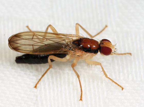 dung fly - Cordilura - female