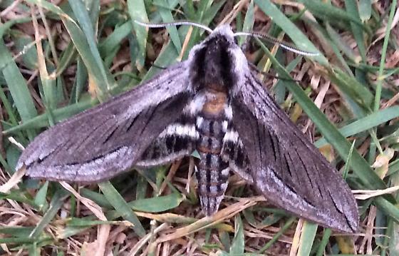 Hummingbird Moth, black and white, British Columbia, Canada - Sphinx perelegans