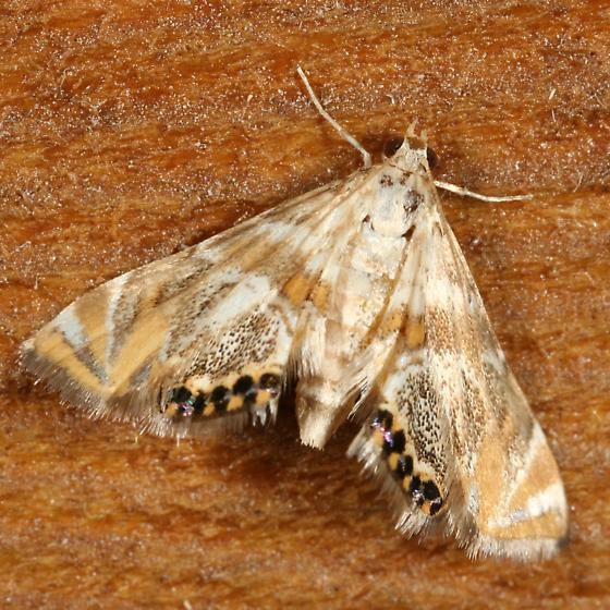 Moth - 4760? - Petrophila heppneri