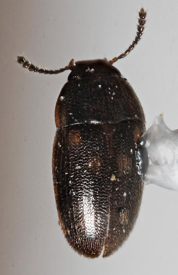 Mycetophagidae - Litargus sexpunctatus