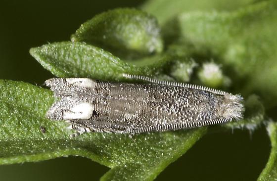 Micro - Epiblema minutana