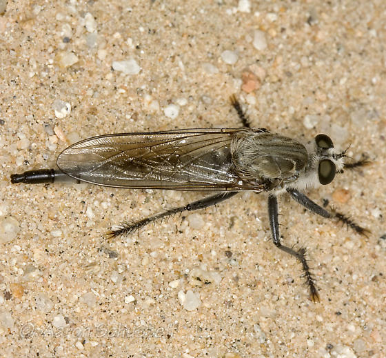 Kelso Dunes Robber Fly - Proctacanthus coquillettii - female