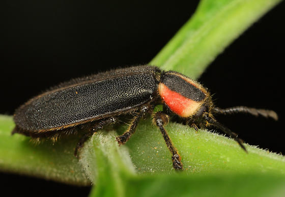 Coleoptera - Chariessa pilosa