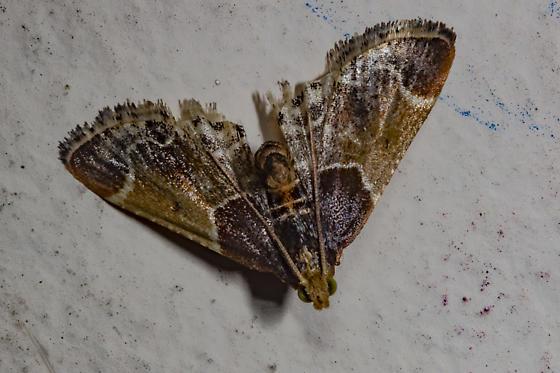 a bit battered  - Pyralis farinalis