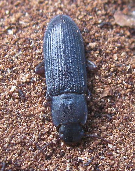 Darkling beetle - Idiobates castaneus