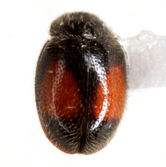 Didion punctatum (Melsheimer) - Didion punctatum