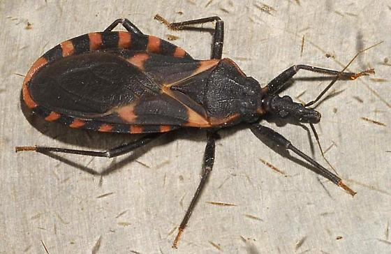 kissing bug. Kissing Bug - Triatoma