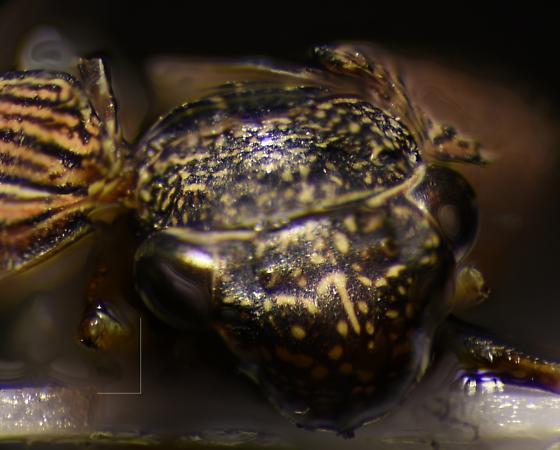 Subfamily_eurymelinae - Cuerna